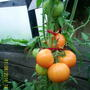 Помидоры Гибрид Золотая тёща F1. Насыщенные, красивые плоды оранжевого цвета.