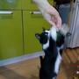 Ну и на кухне без помощи Баксика ну никак, всегда кусочек вкусненького выпросит.