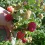 Крупноплодная малина. Любимая ягодная культура