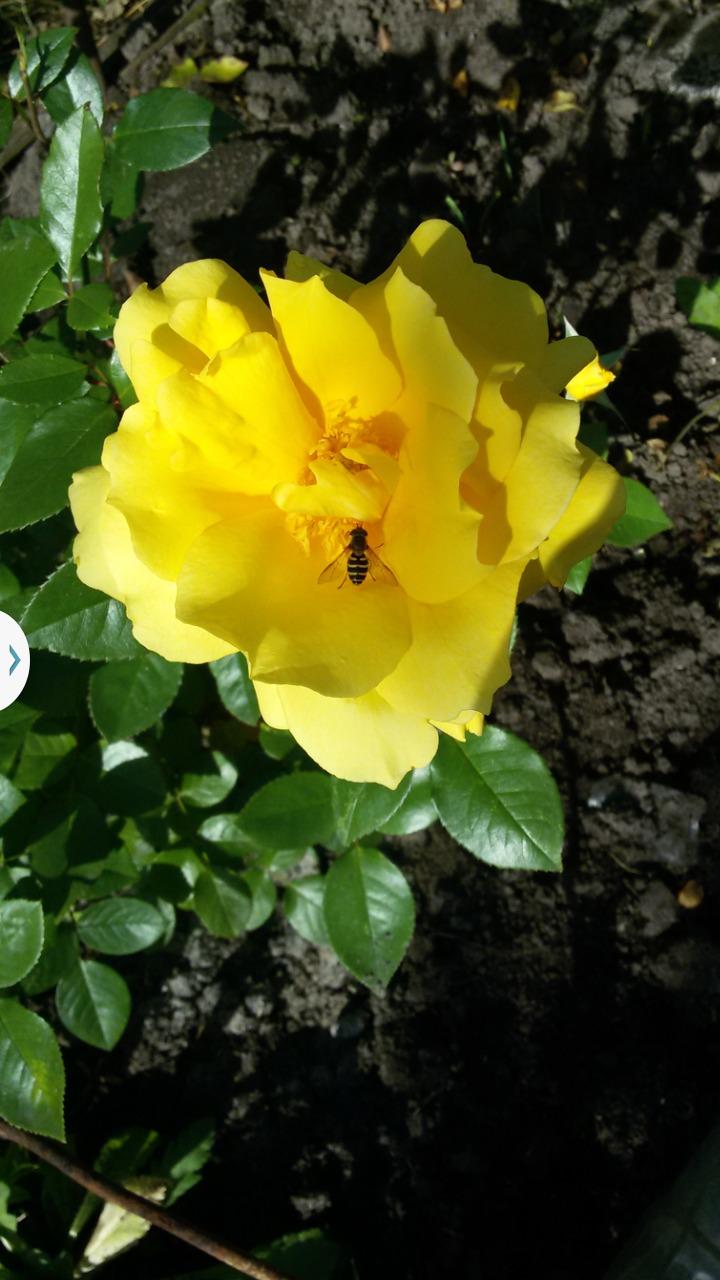 роза голден парфюм фото и описание монета принадлежит