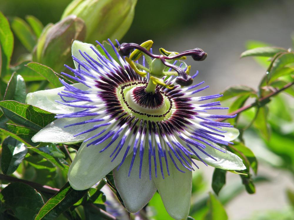 Пассифлора  Passiflora фото условия выращивания уход и