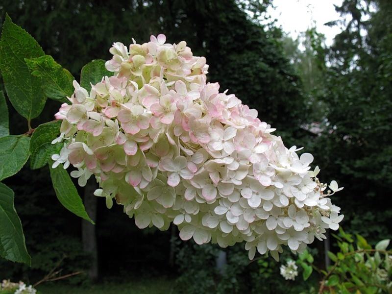 Гортензия крупнолистная выращивание и уход  FloweryValeru