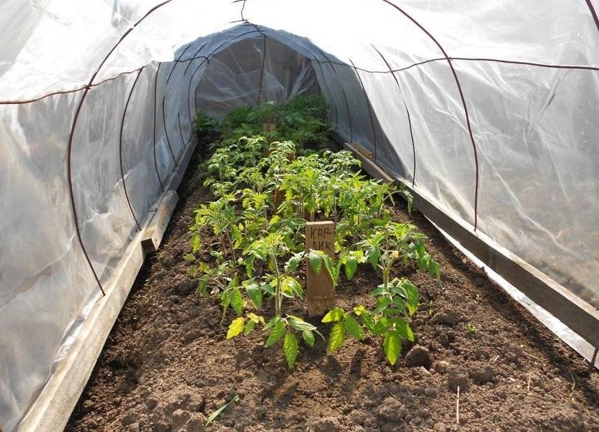 Болезни рассады томатов (помидоров) и их лечение в 1