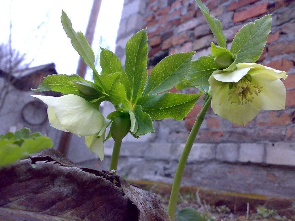 Морозник - цветок зимы.. Обсуждение на LiveInternet - Российский ...