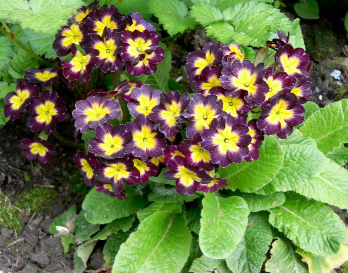 Примула садовая многолетняя: обзор сортов и особенности ухода