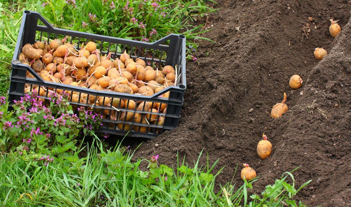 Výsledek obrázku pro картофель посадка