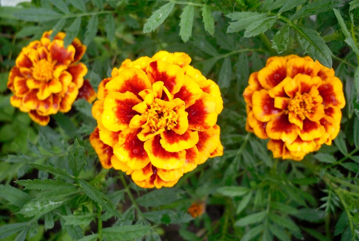 Каталог низкорослых цветущих растений для оформления дачного участка