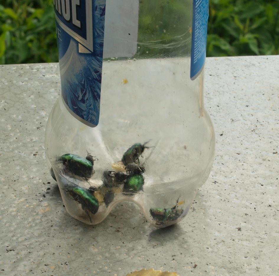 жуки паразиты в человеке