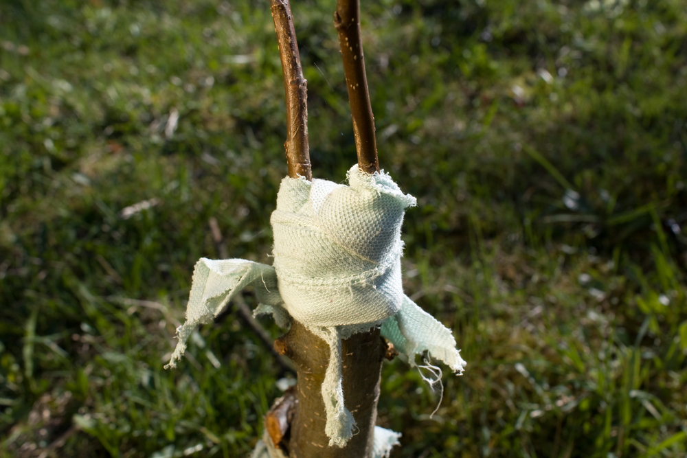 Прививка персика на дикий миндаль фото 288-565
