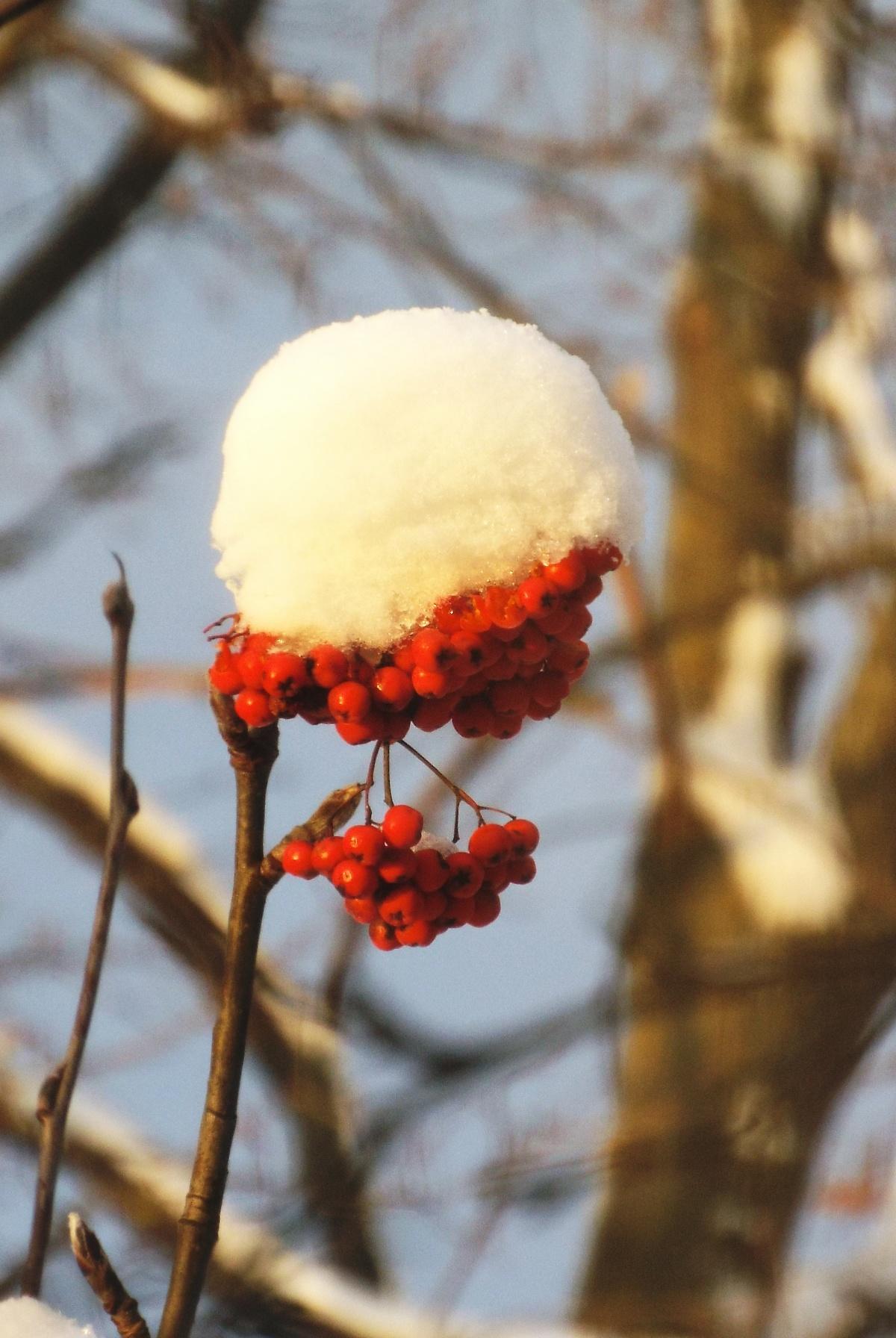 известна своими картинка рябина в снегу на аву кандидатах, выдвинутых