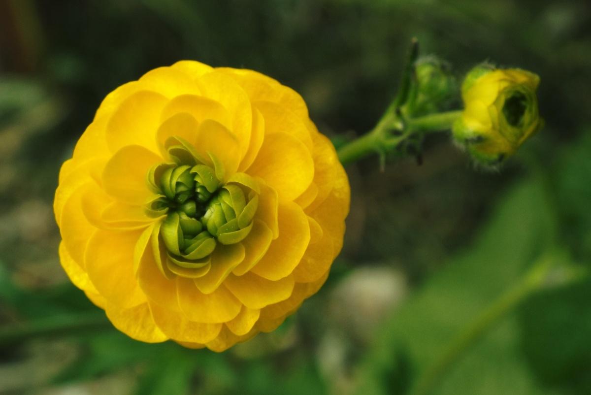 показать цветок лютик фото даном