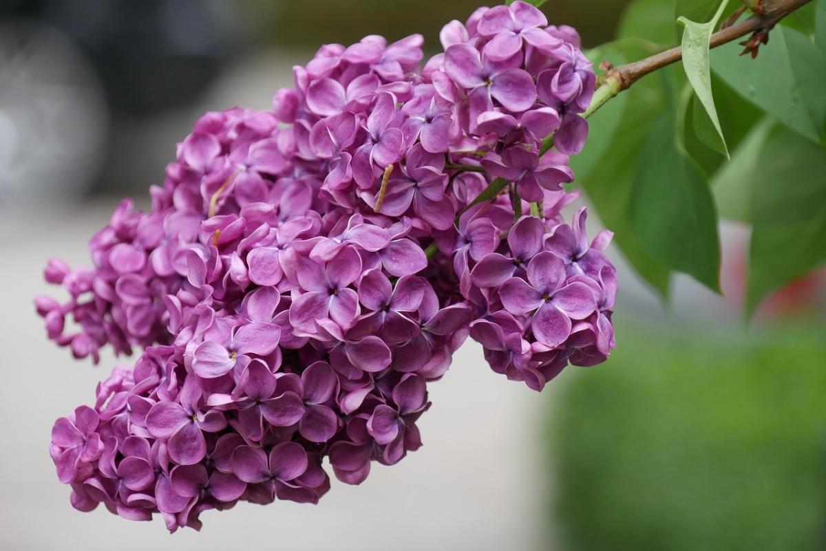 Сирень выращивание и уход — Декоративные цветы и кустарники