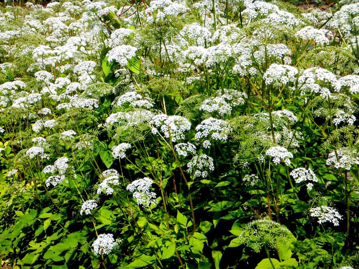 днем татьяны сныть трава фото описание какие особенности