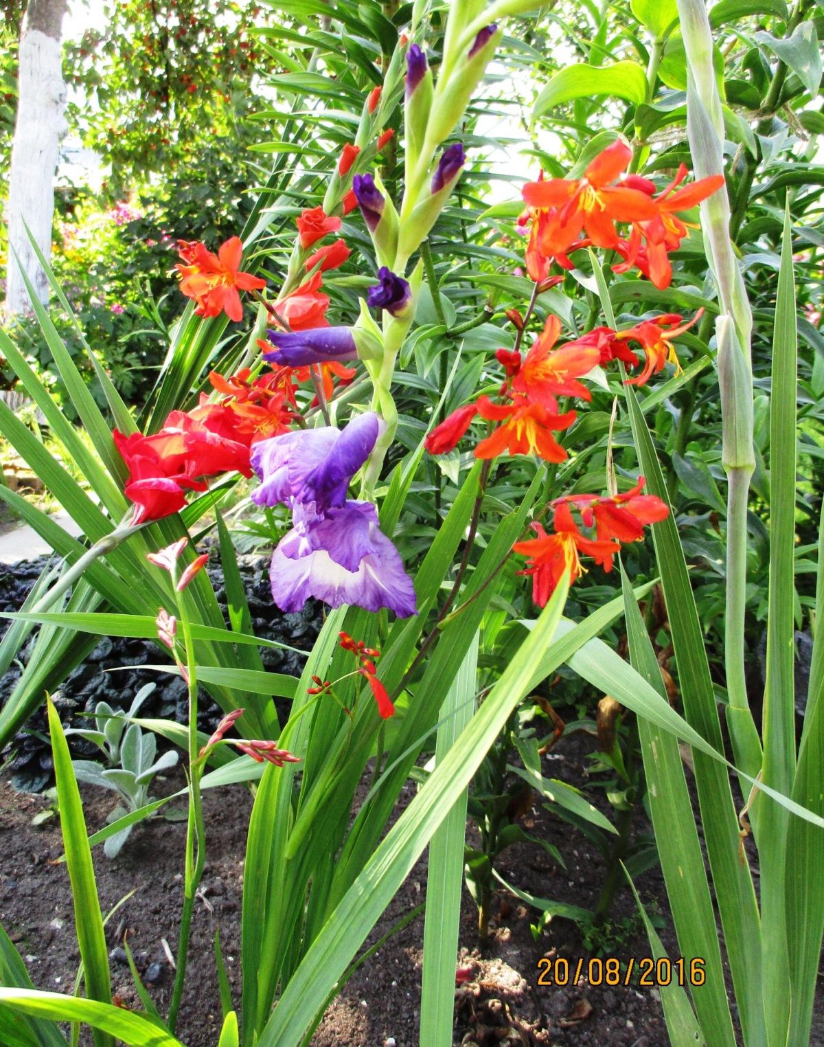 Цветы гладиолусы японский купить в москве, цветов стрекоза