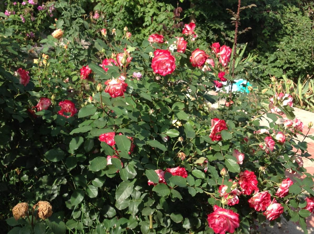 фото роза юбилей принца монако