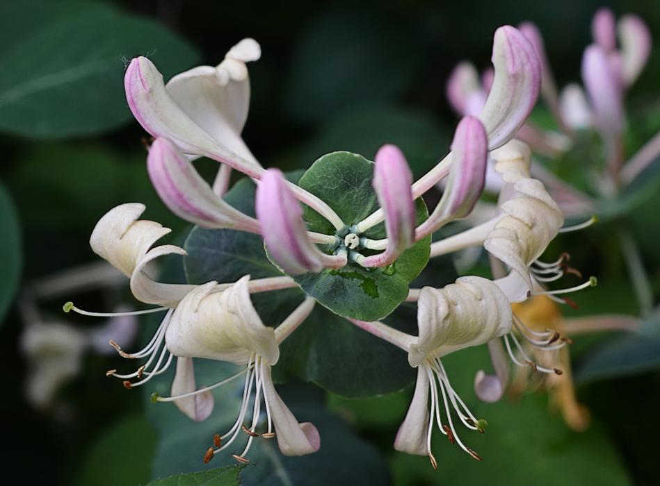 новичок все цвета цветка жимолость фото название, словарю даля