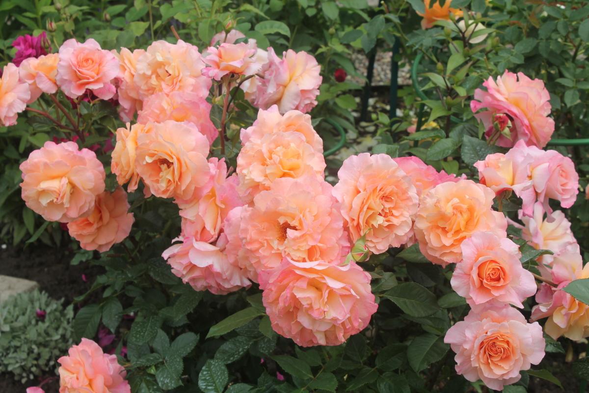 роза августа луиза фото и описание отзывы яльчиках