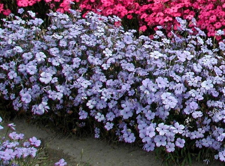 Семена Ипомеи Ipomoea  Heavenly Blue