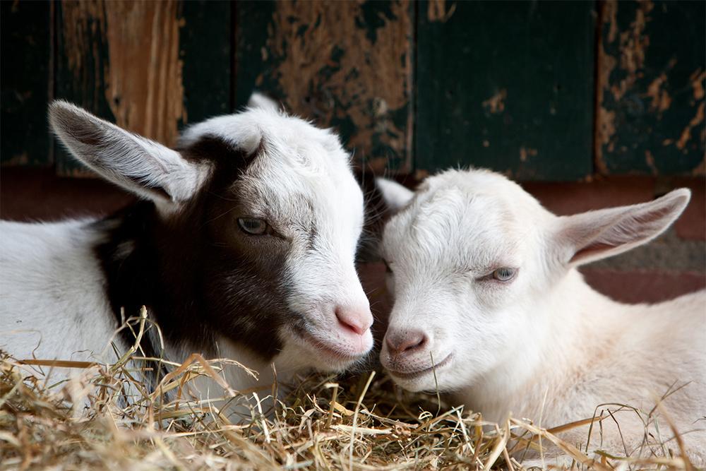 Овцы козы свиньи видэо часное подворье видэо фото 666-837