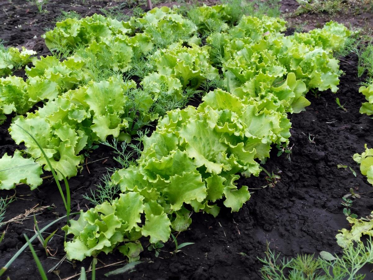что рассказываем фото салатов растущих в огороде или