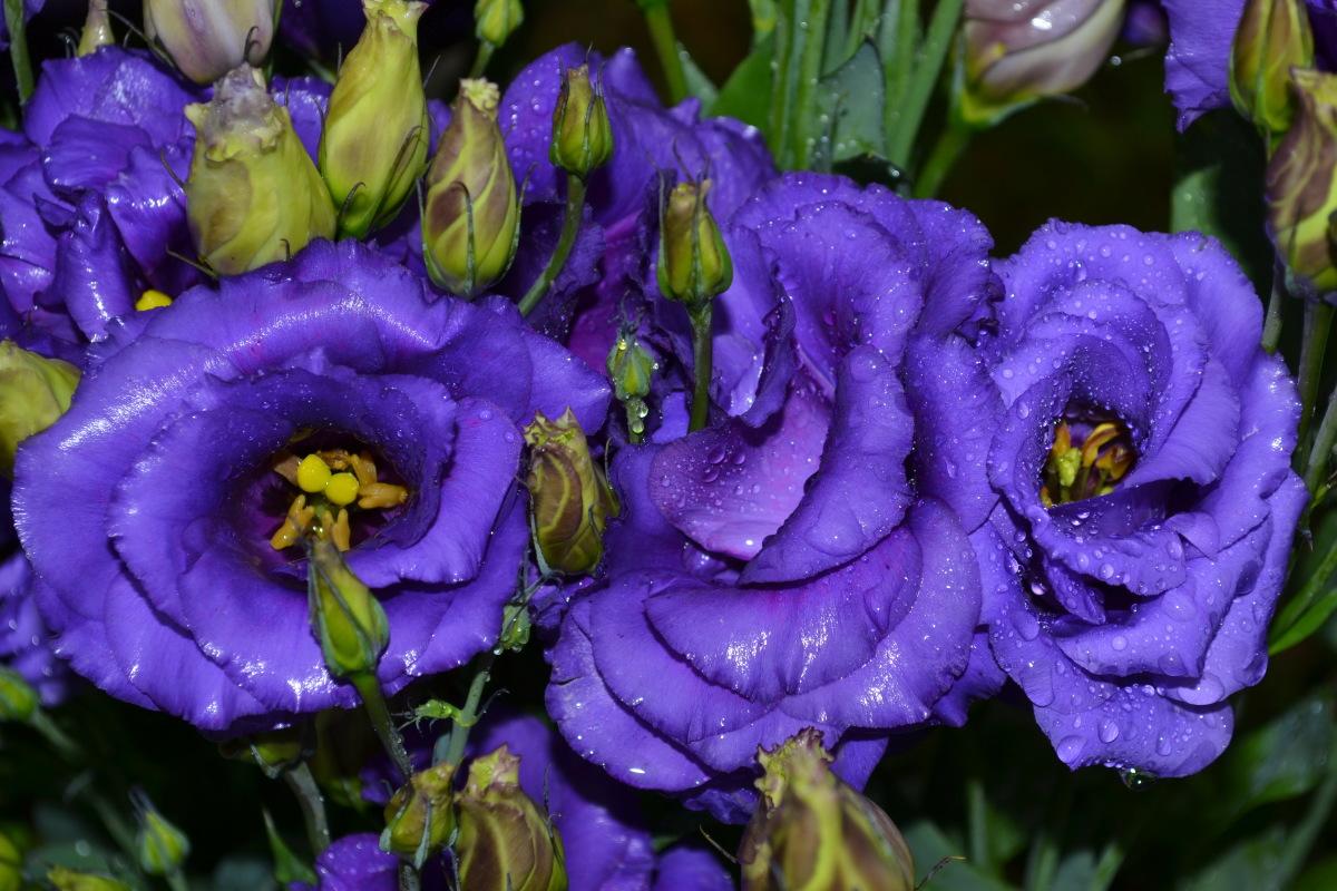Цветы эустома цена и уход