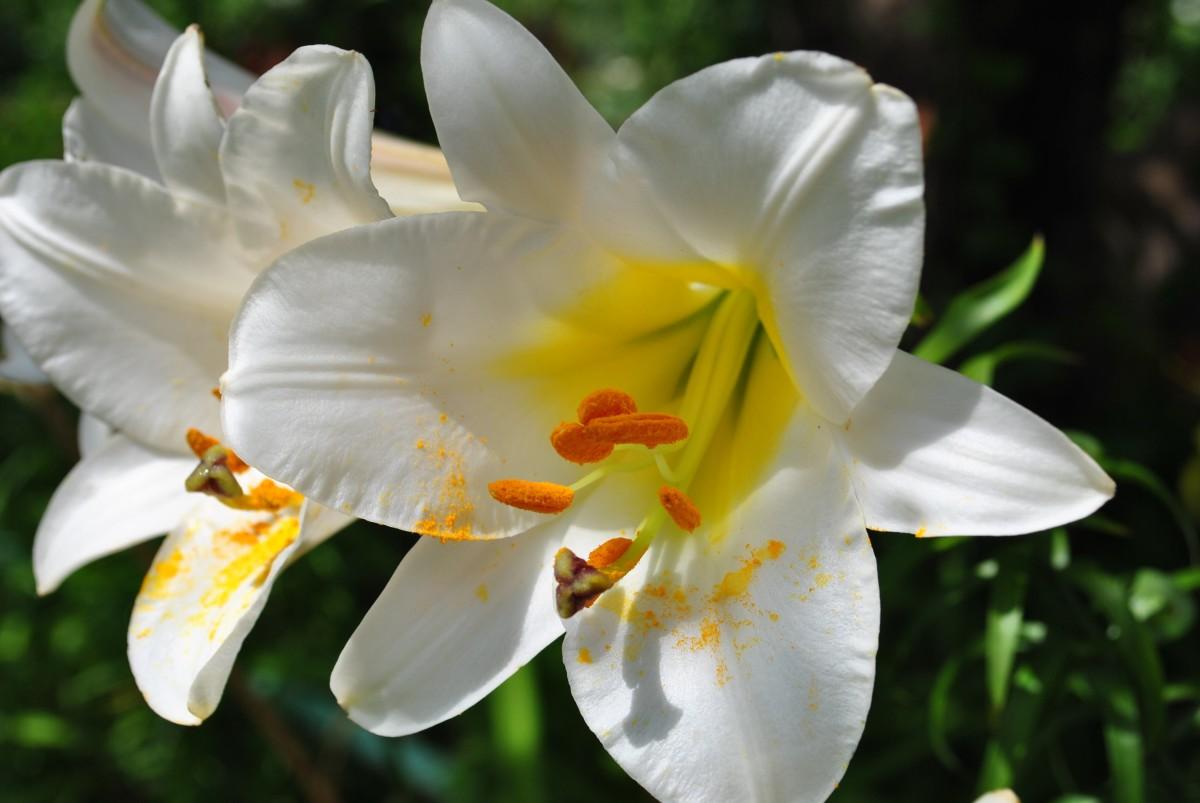 пар лилия регале фото поклонниц сходят