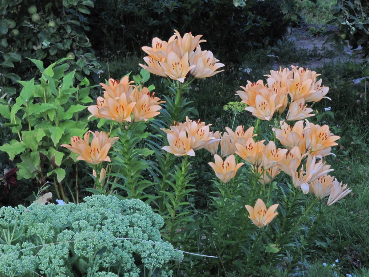 70 лучших сорта и гибрида лилии с фото | образцовая усадьба.