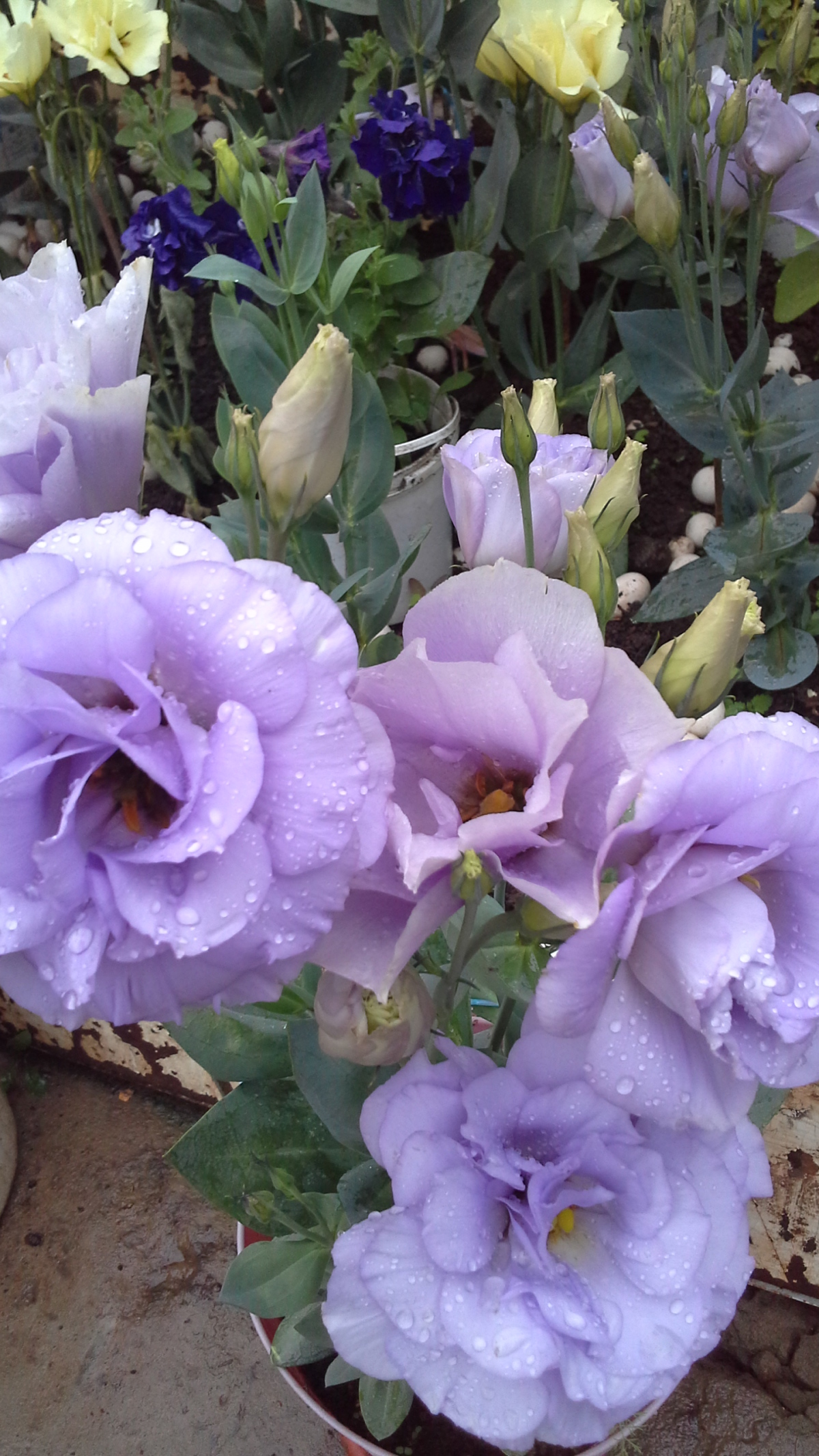 Искусственные цветы, цветы эустома цена и уход