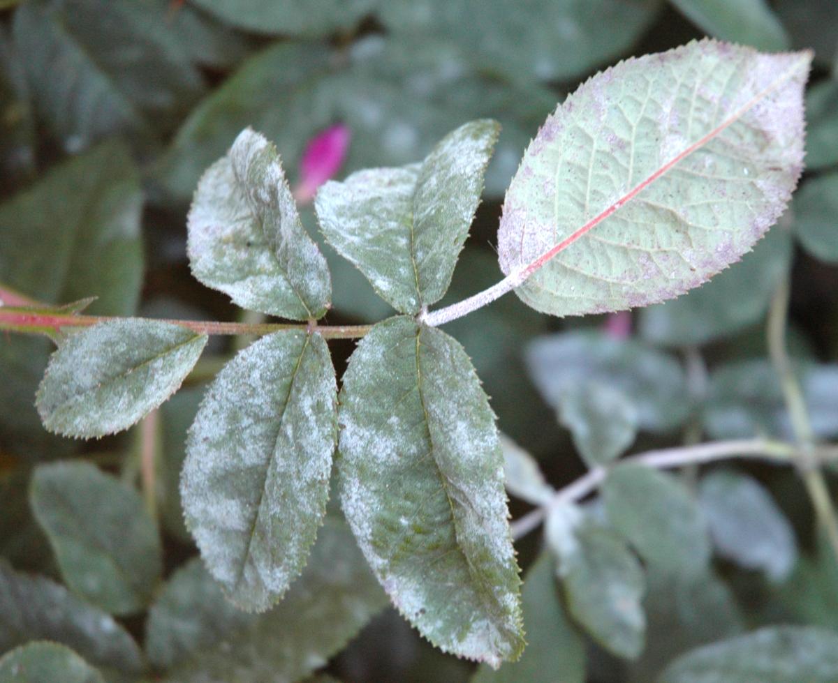 Болезни и вредители роз фото описание и лечение