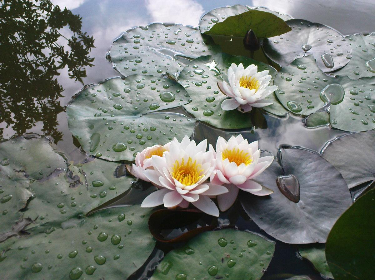 Цветов, растения для пруда купить в серпуховской район