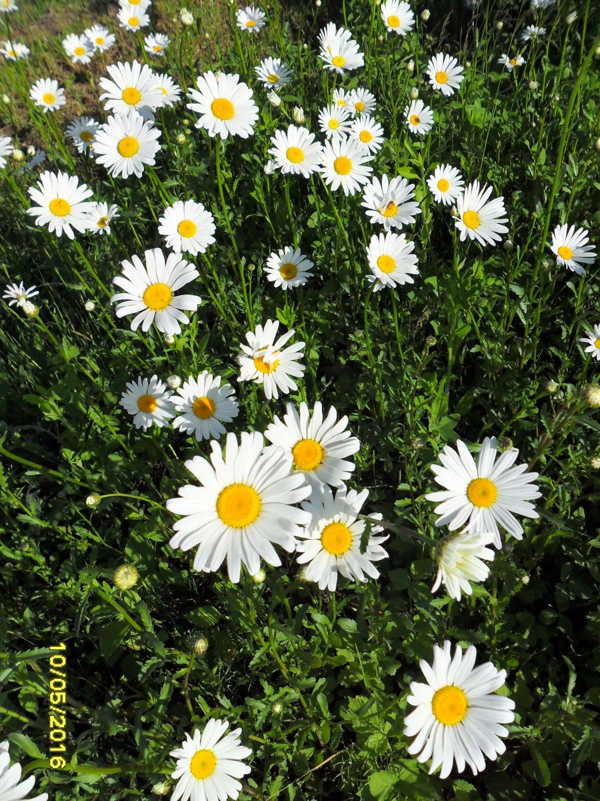 Полевые цветы фото ромашки