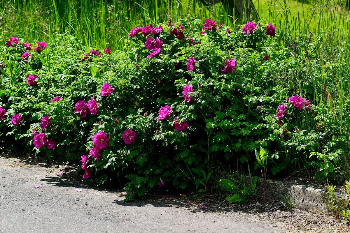 живая изгородь из шиповника лучшие фото бенуа