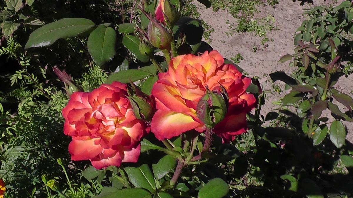Роза золотая магия фото и описание