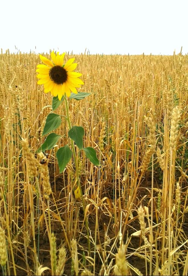Картинки пшеница и подсолнух