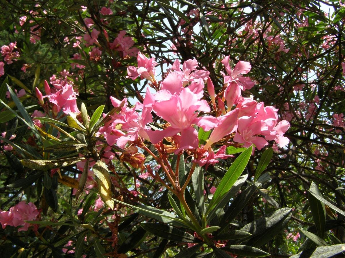 цветы крыма фото и названия розовые