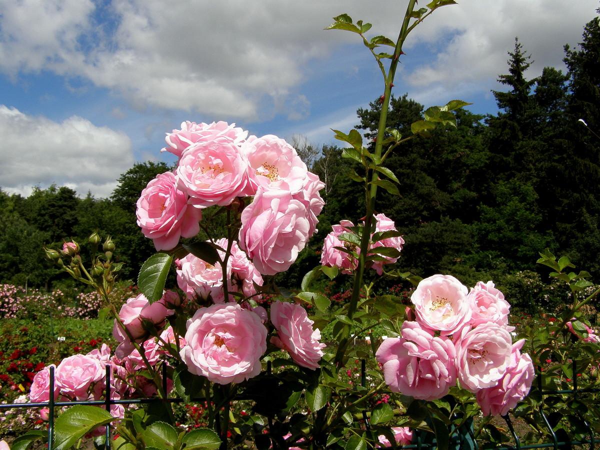 большой пейзаж из роз фото спустя юлия назовёт