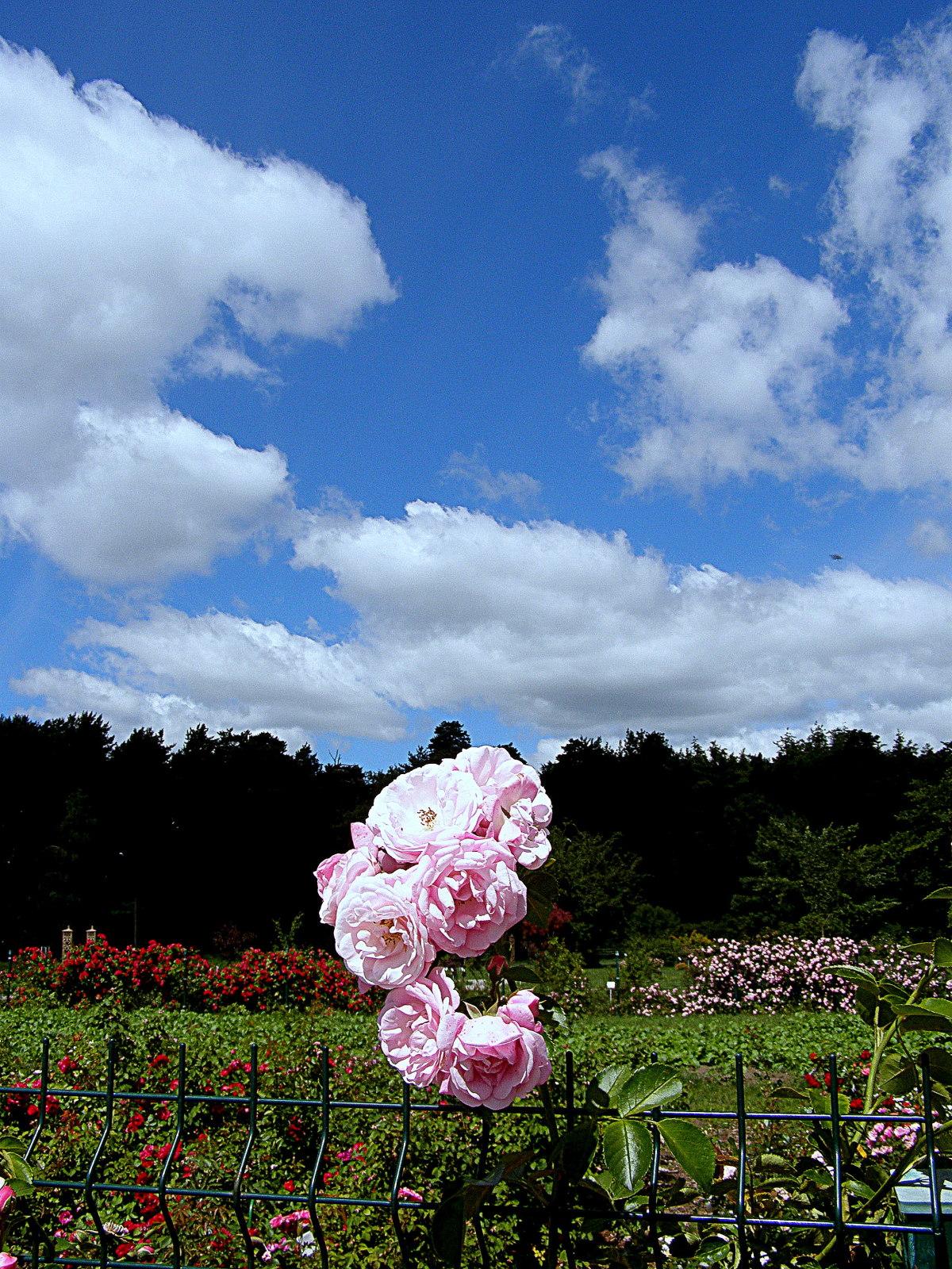 Картинки пейзаж роза ребенку