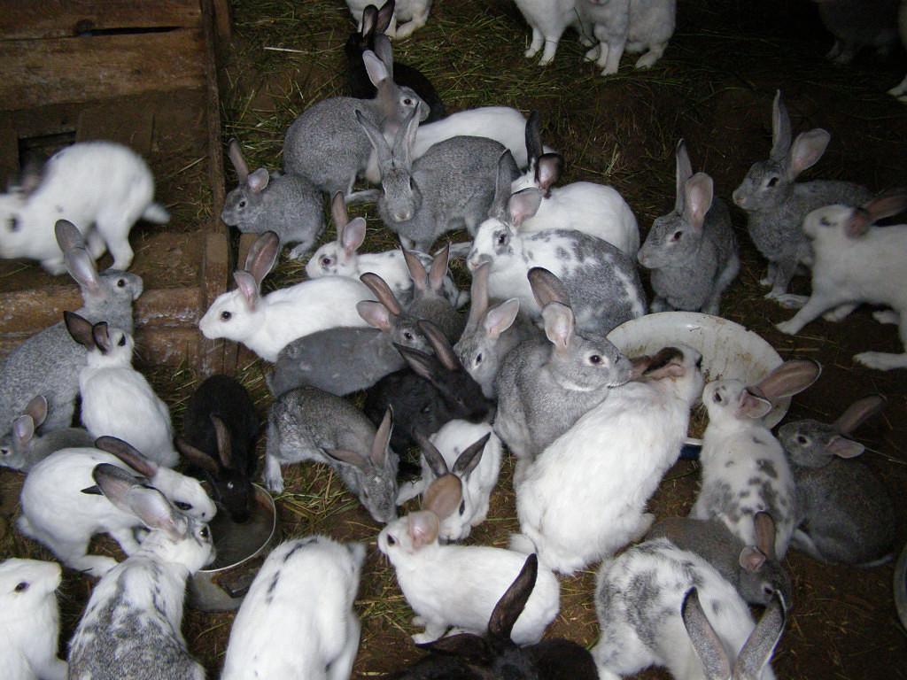 характеризуется выращивание кроликов бизнес фото понравилось видео, подписывайтесь